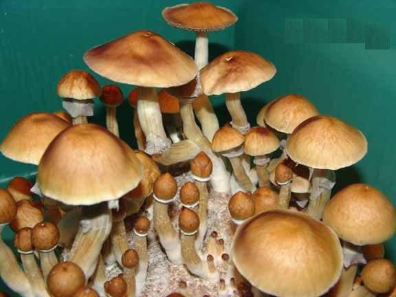 cambodia mushroom magic mushroom