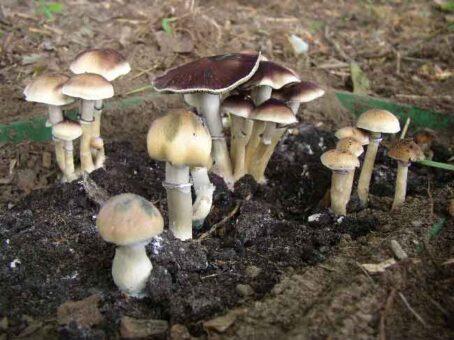 mexican dutch king magic mushroom
