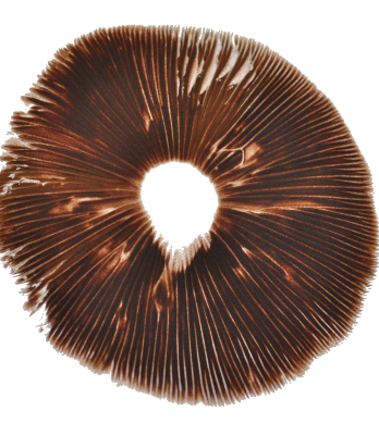 Red boy psilocybe cubensis pore print
