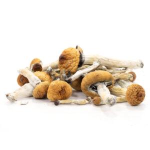 Golden Teacher Mushroom