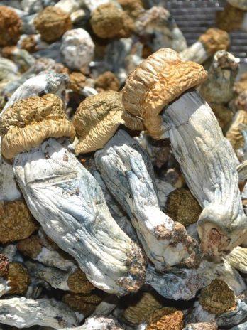 Ecuadorian Magic Mushroom