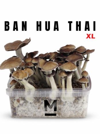 Thai XL magic mushroom grow kit