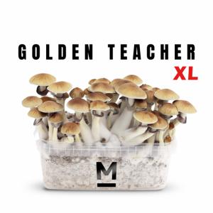 Golden Teacher XL magic mushroom grow kit