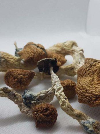 Amazonian Magic Mushroom