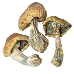 Cambodian Magic Mushroom