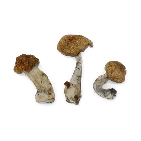 Order Hawaiin Magic Mushroom Online Now