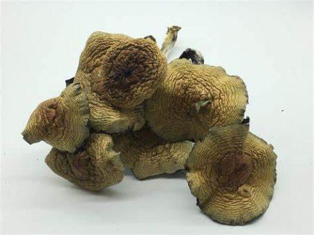 Cuban magic mushroom