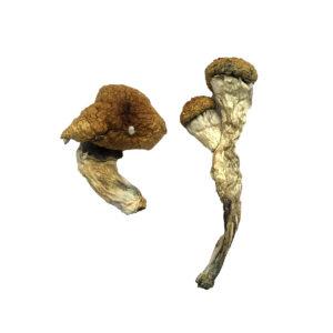 Big Mex Magic Mushroom